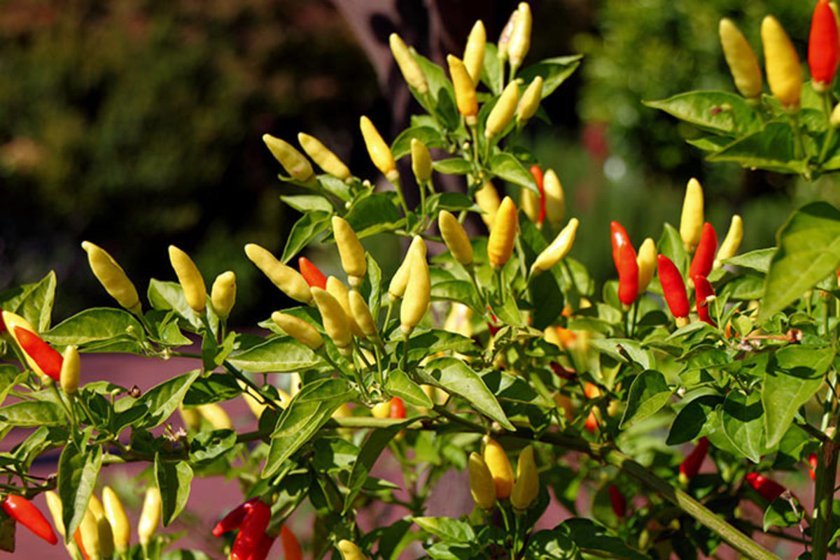 Tabasco peppers ripening in the herb garden at the US National Arboretum in October.