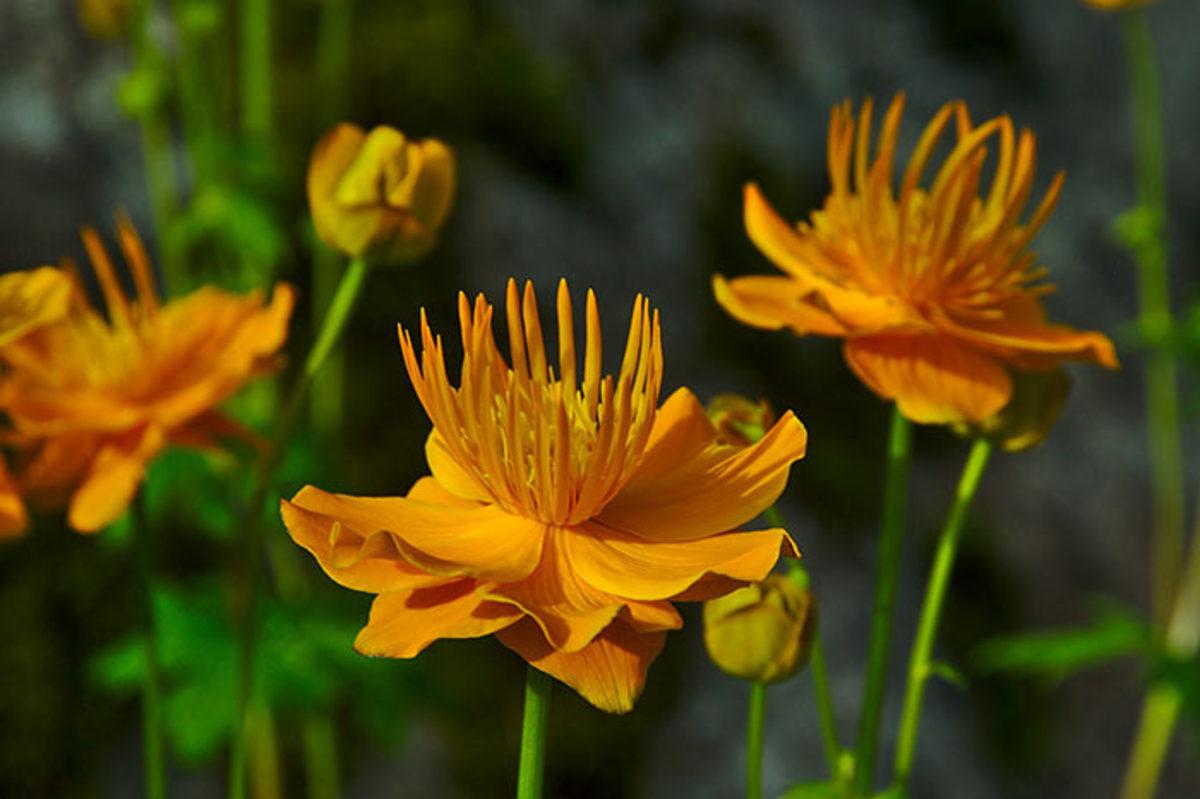 Siberian globeflower