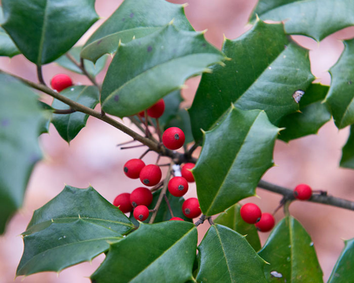 American holly (Ilex opaca) is an evergreen tree with vivid red fall and winter fruits.