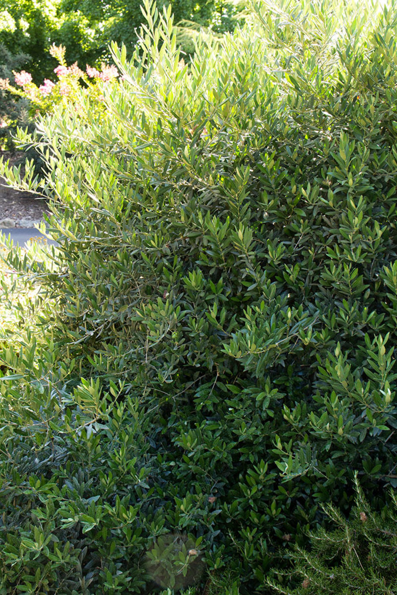 Little Ollie offers the handsome foliage of an olive tree, but on a smaller form.