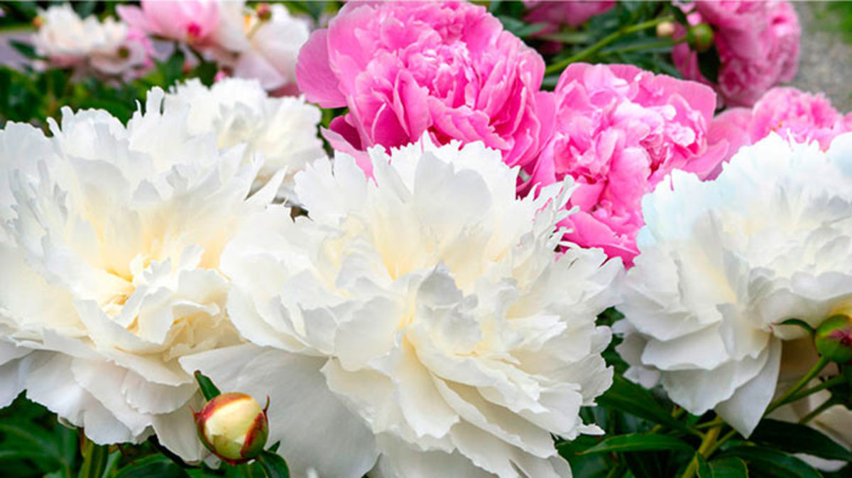 Holiday_Garden_Gift_Guide_Peony-Envy