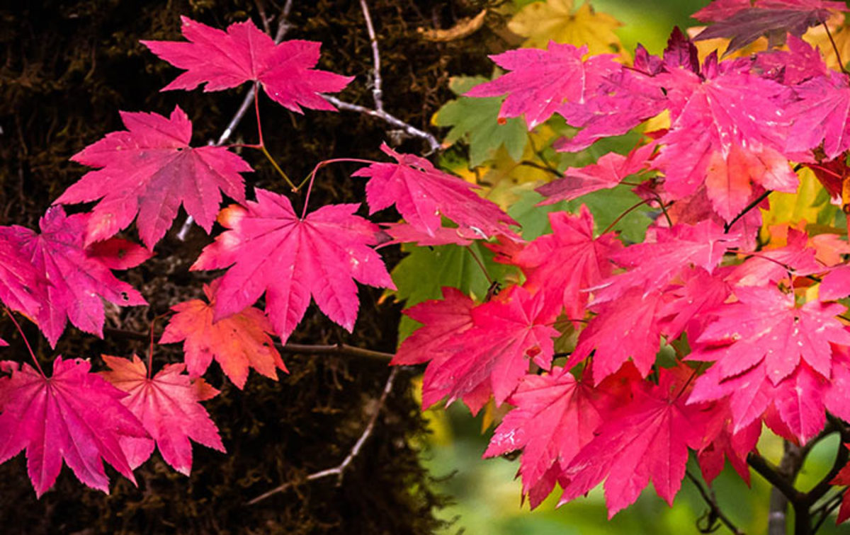 Vine maple's leaves turn red in fall, as seen in this photograph taken alongside Oregon's Molalla River in October 2018.