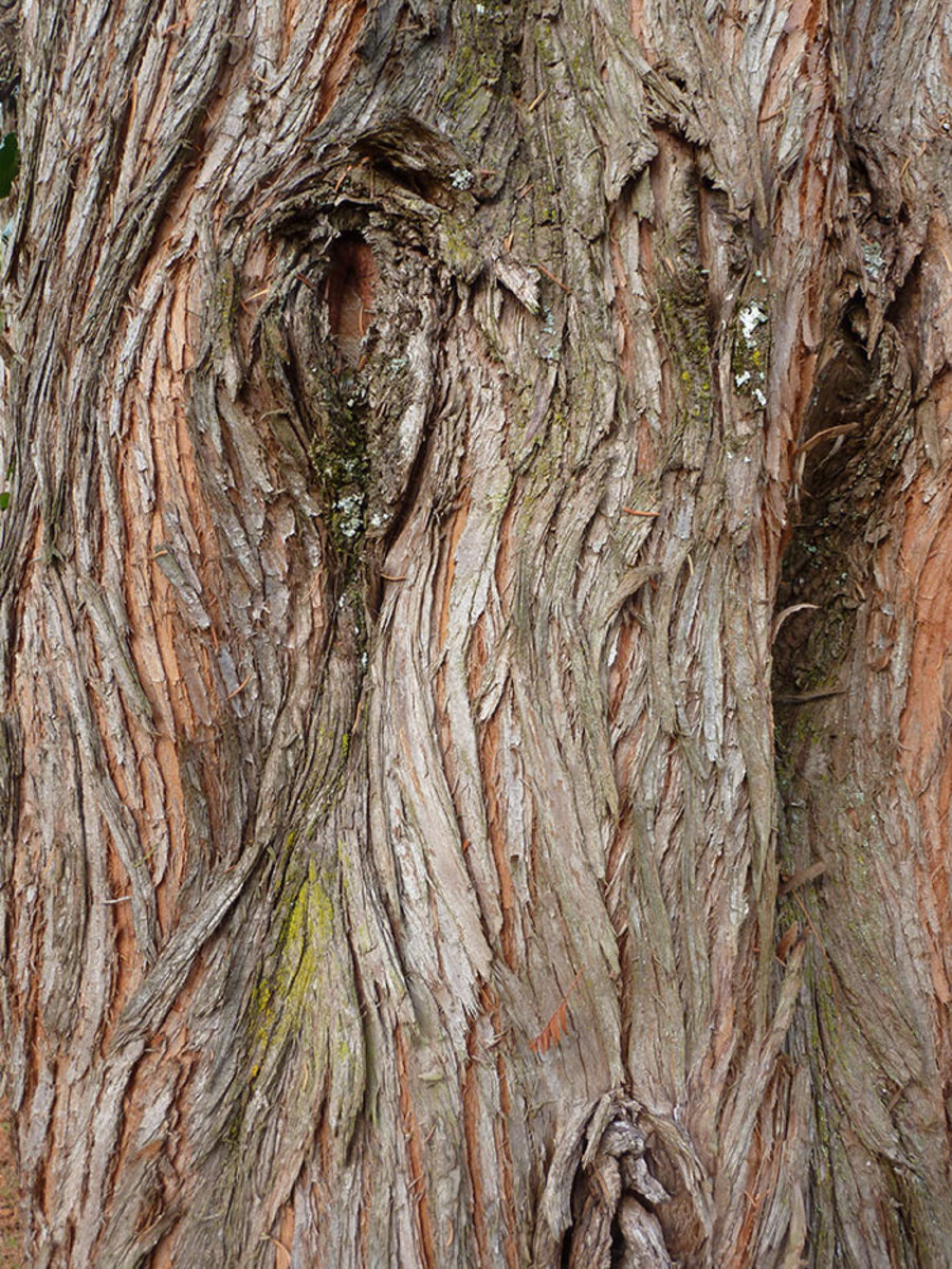 Dawn redwood's bark becomes more peeling with age.