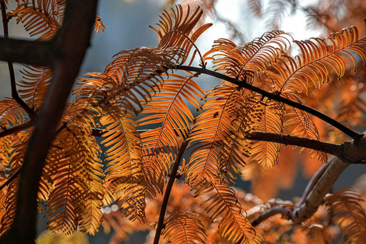 The foliage turns shades of rust in fall. Dawn redwood is deciduous.
