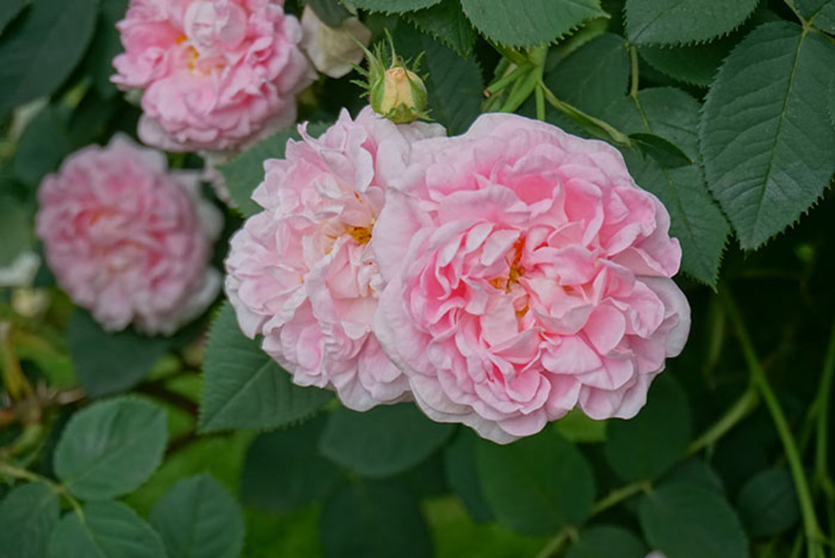 One of Bob Osborne's favorite roses is 'Maiden's Blush', which dates back 600 years.