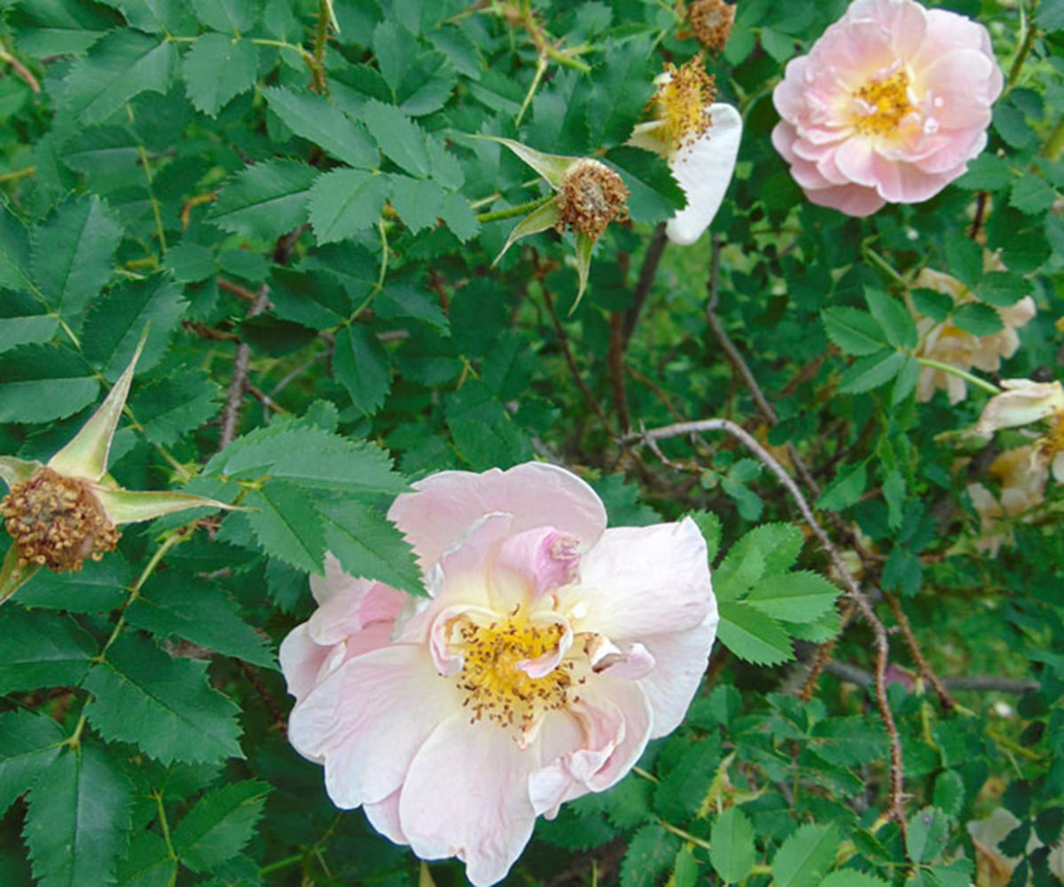 Hardy to Zone 2, 'Prairie Peace' offers lovely opalescent color.