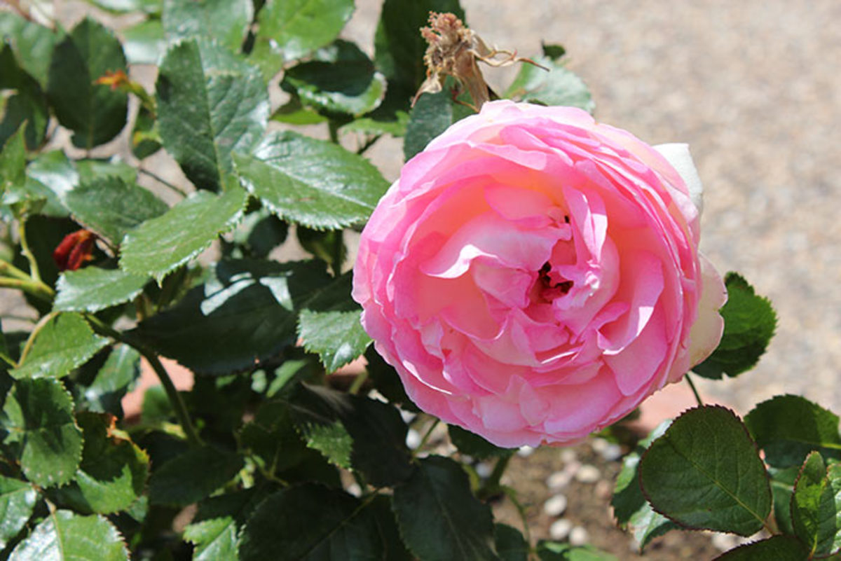 Bob loves 'Queen of Denmark' for its fragrance and color.