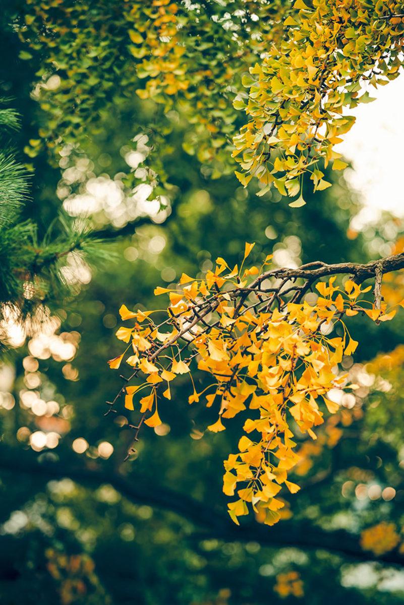 Ginkgo biloba taking on fall color.
