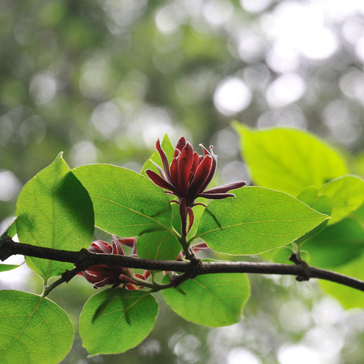 Carolina allspice in summer bloom.