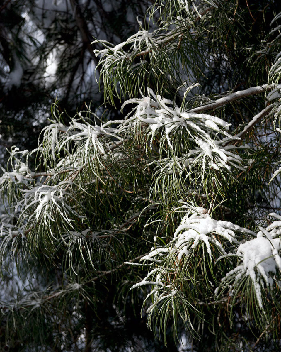 Japanese umbrella pine dusted with snow.