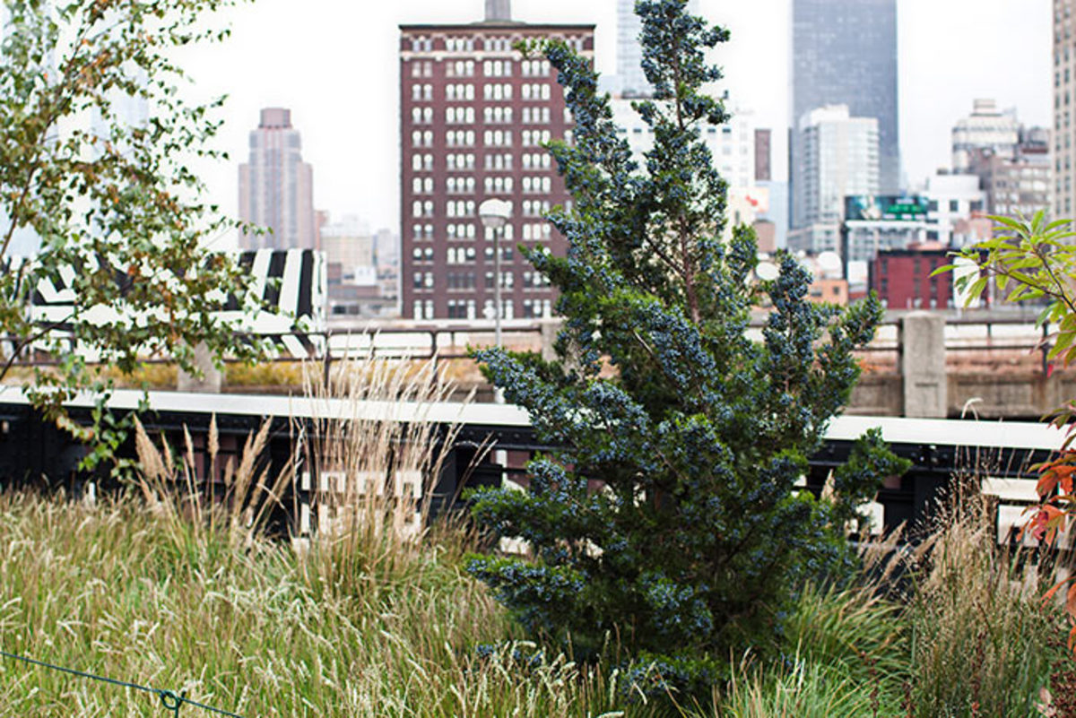 Emerald Sentinel red cedar easily copes with urban pollution and dry soil. This one is growing in New York City's High Line Garden.