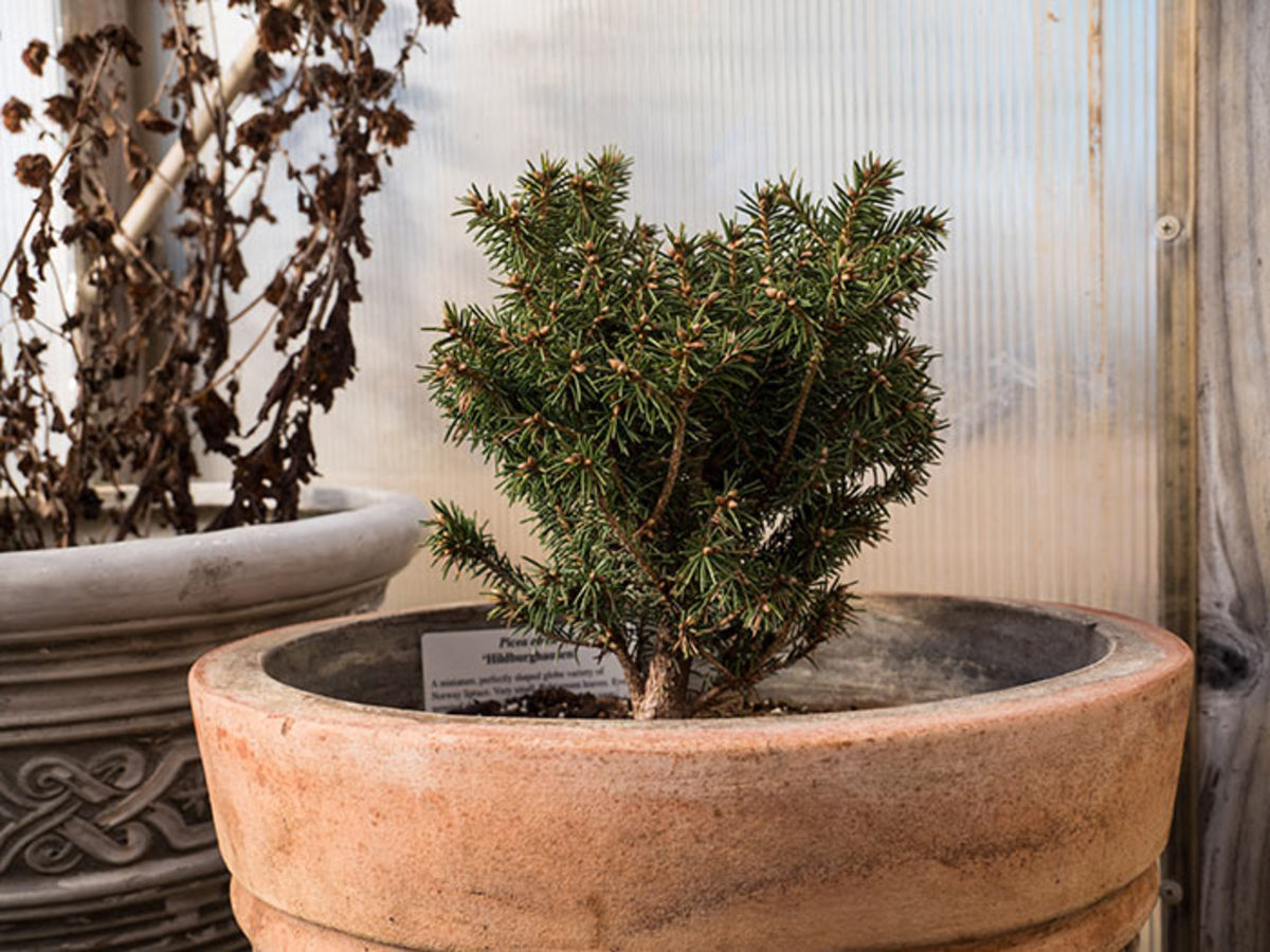 Picea abies 'Hildburghausen' is a globe Norway spruce that grows just one inch per year.