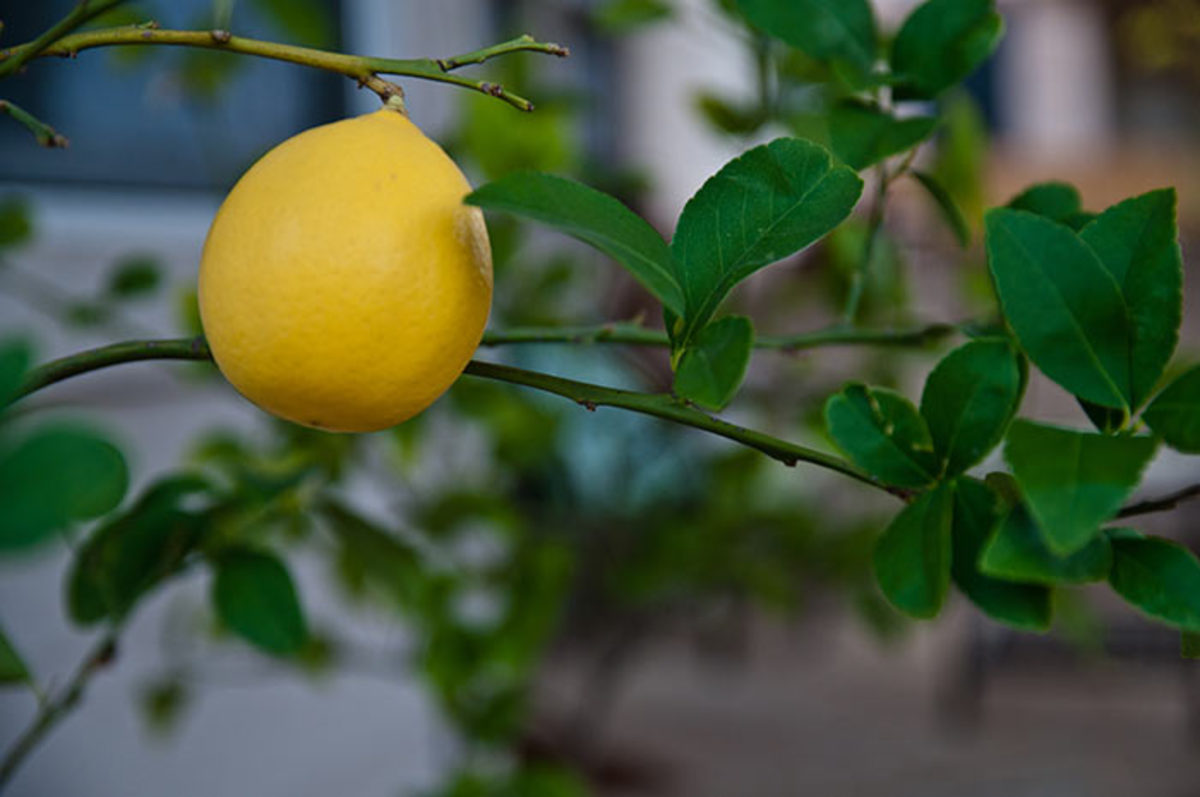 'Improved Meyer' is the best lemon to grow in a container.