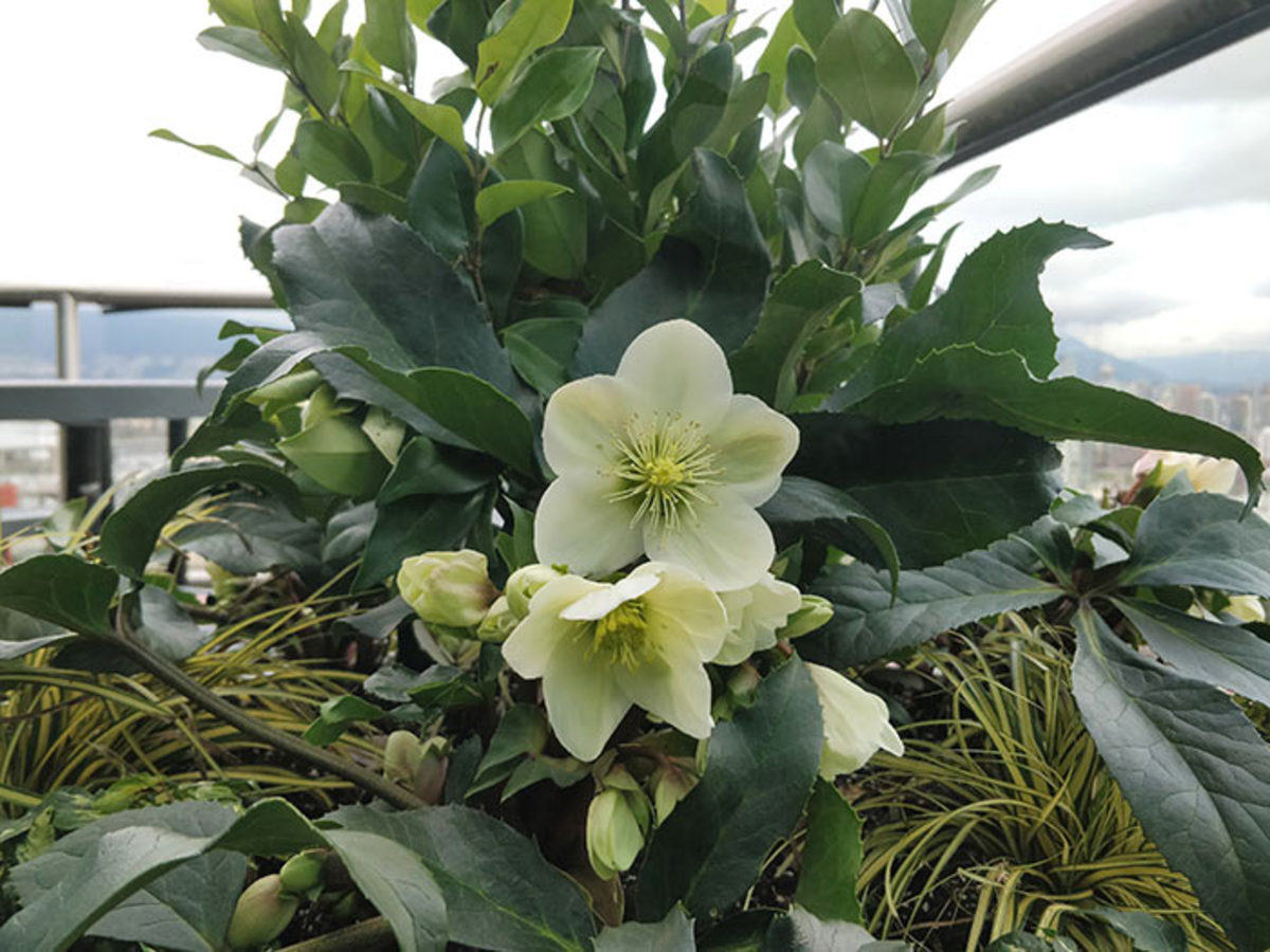 This Christmas rose cools off on the balcony.