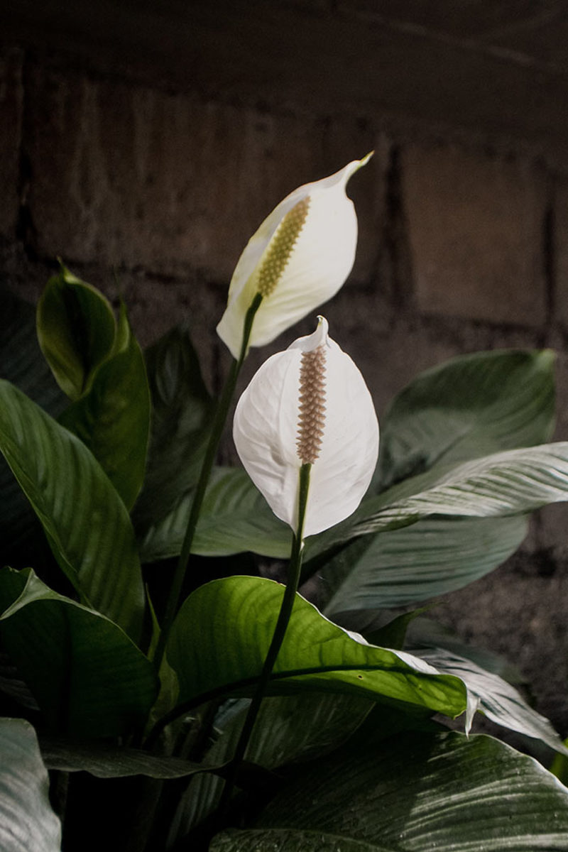 Peace lily has a clean look that lets it blend easily with Christmas decor.