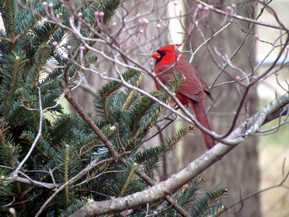 A northern cardinal perches on a Christmas tree discarded at the edge of a woodland.