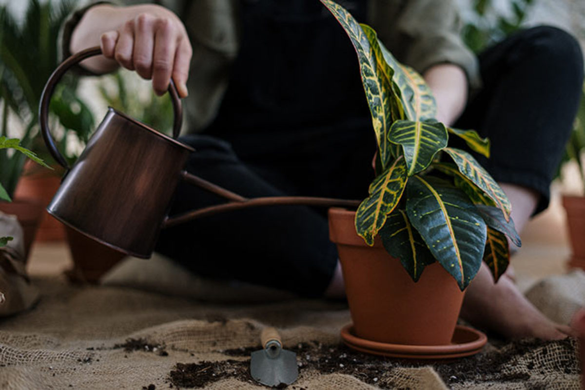 Dieffenbachia can cope with a liberal pour.