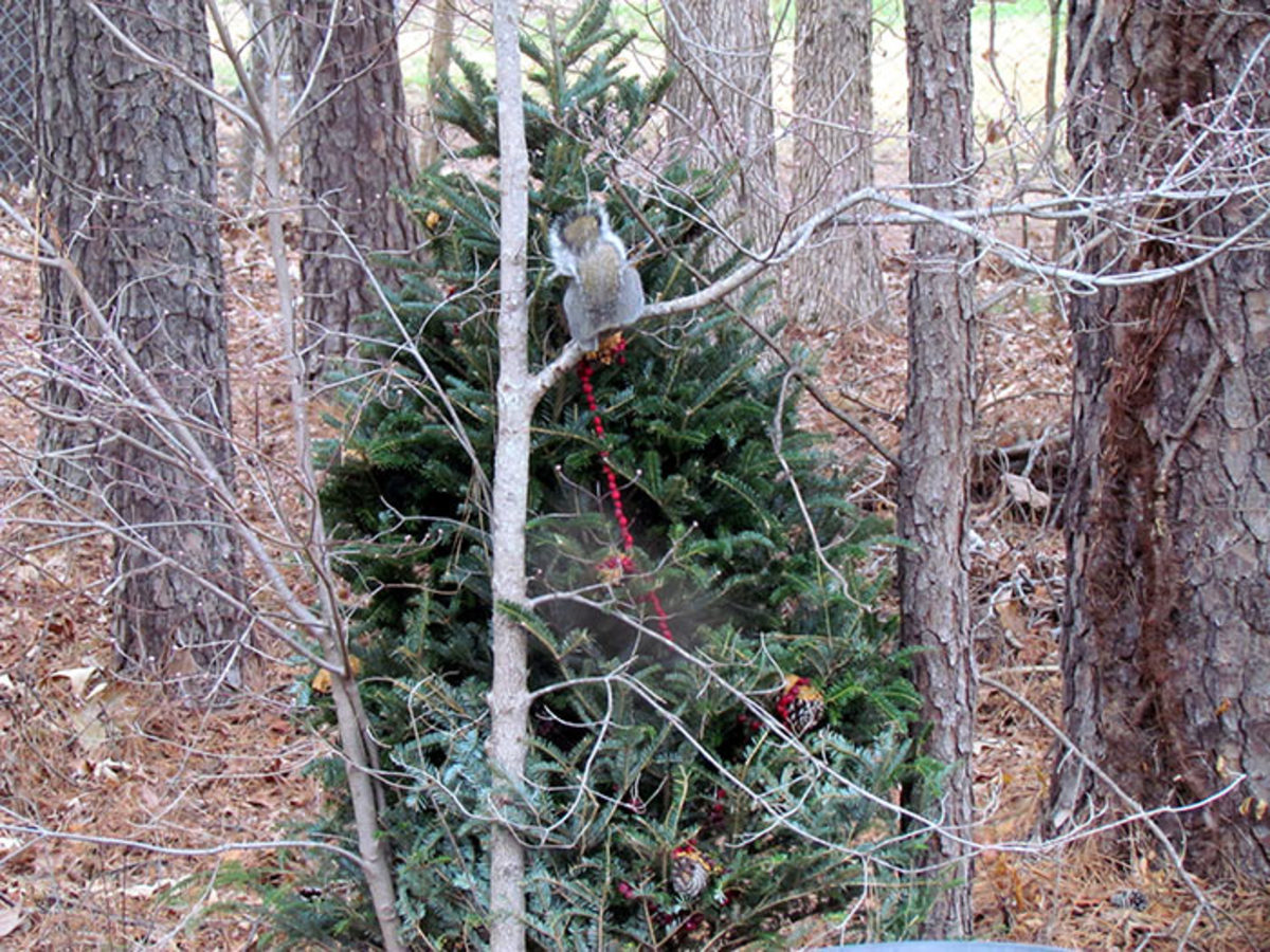 A squirrel investigates the Christmas tree, which has been decorated with cranberry garland and peanut-buttered pine cones.