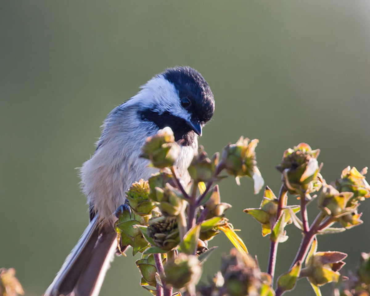 Birds with small, sharp bills, like this black-capped chickadee, are perfectly outfitted for teasing out the fine seeds of perennials and annuals.