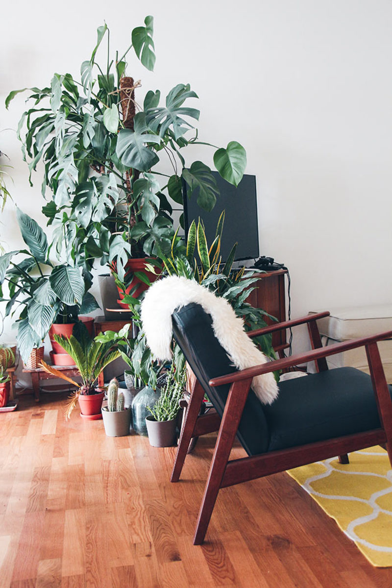 Swiss cheese plant, or Monstera deliciosa, is riding a wave of popularity, but before you fall in love recognize the space that it comes to need with time!