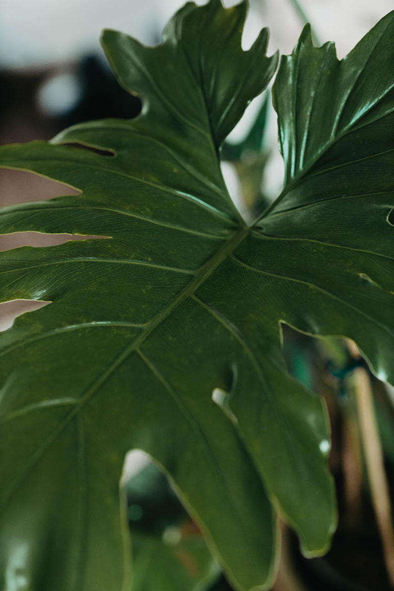 Dissected leaf edges inspire the common name of split-leaf philodendron.
