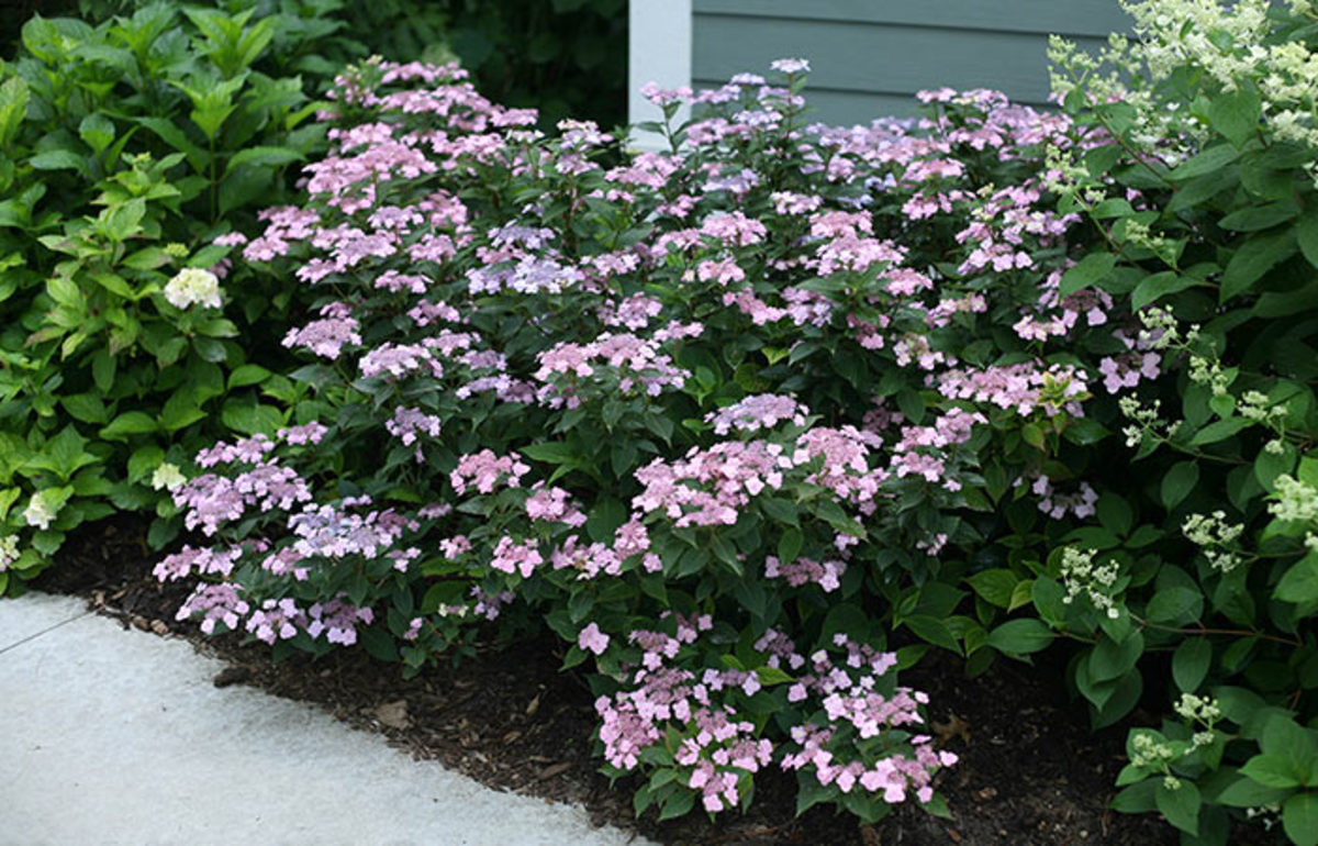 Tiny Tuff Stuff is a mountain hydrangea that grows just two feet tall. Image courtesy of Proven Winners.