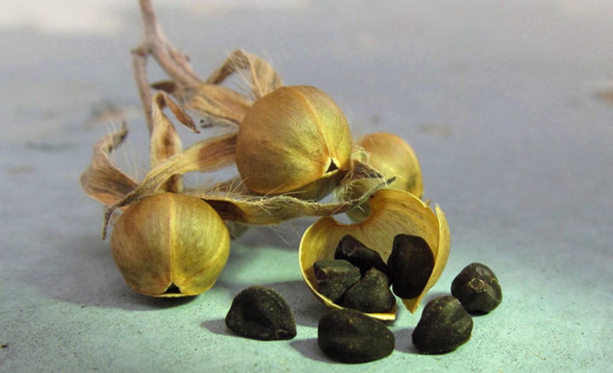Hard-coated seeds like morning glory can be scarified prior to sowing for quicker results.