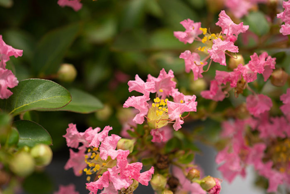 Bellini Guava crape myrtle has light pink flowers.