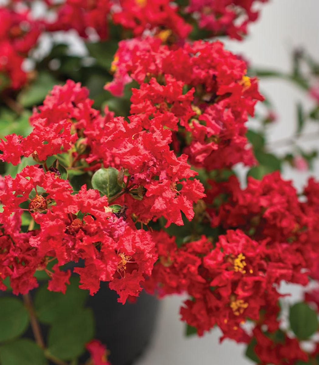 Bellini Strawberry has crimson flowers.