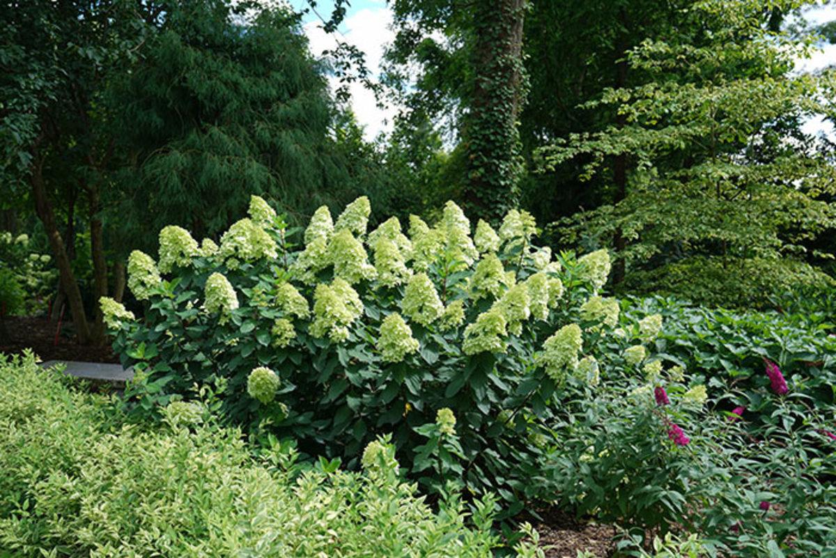 Limelight Prime grows four to six feet tall, while 'Limelight' can reach eight feet tall.