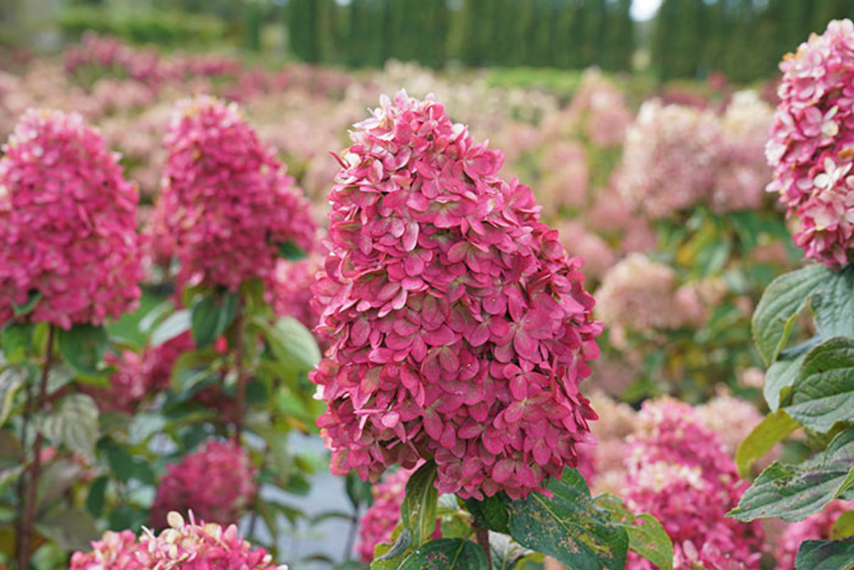 The flowers take on impressive pink shades as they age.