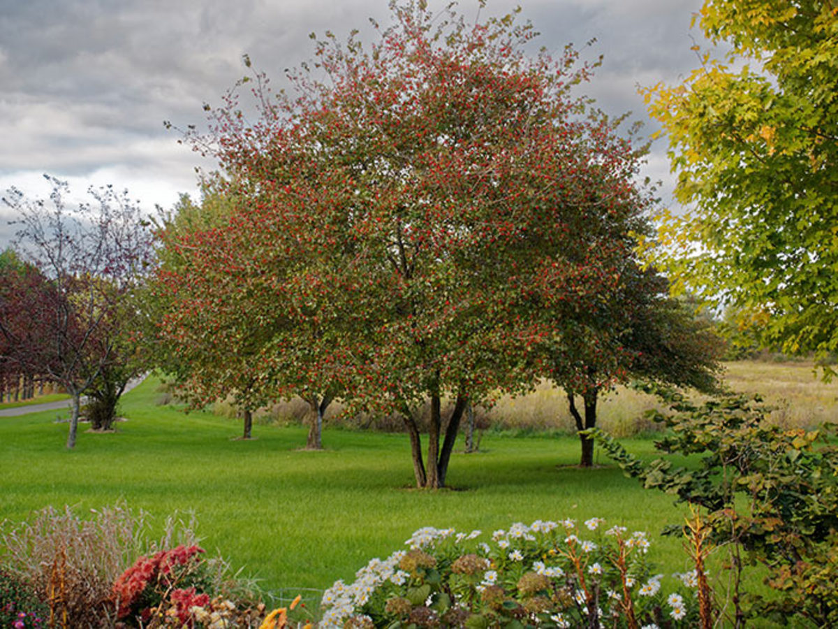This fall photograph shows Washington hawthorn with ripe red fruit.