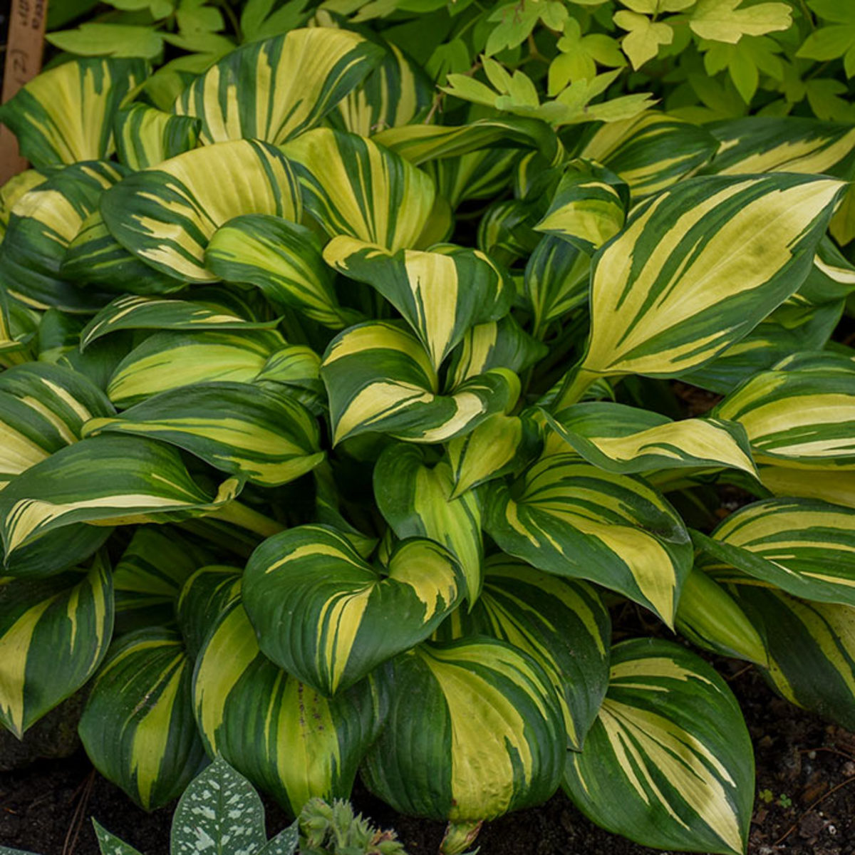 'Rainbow's End' was named Hosta of the Year for 2021 by the American Hosta Growers Association.