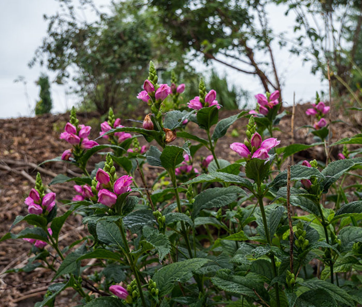 Turtlehead (here, the cultivar Chelone lyonii Tiny Tortuga) delays blooming until autumn.