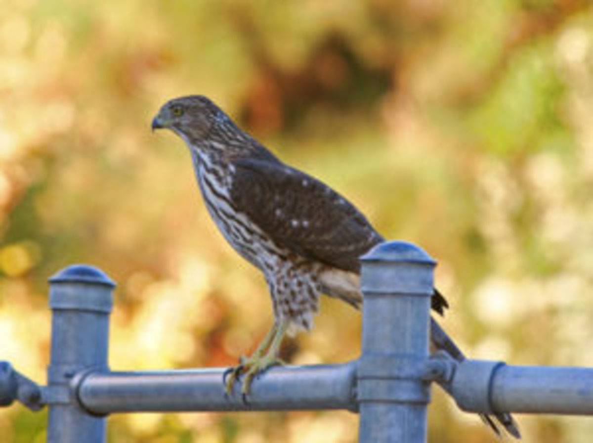 A juvenile Cooper's hawk, which preys on smaller birds, among other animals.