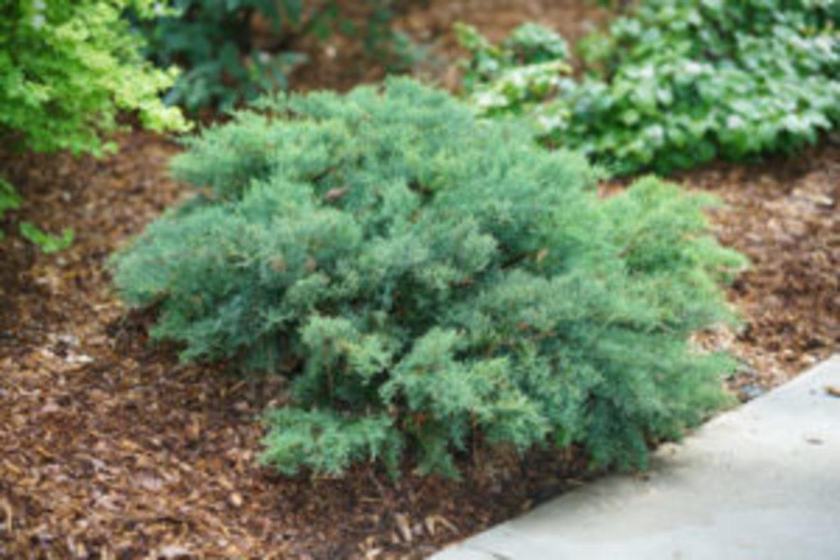 montana moss juniper