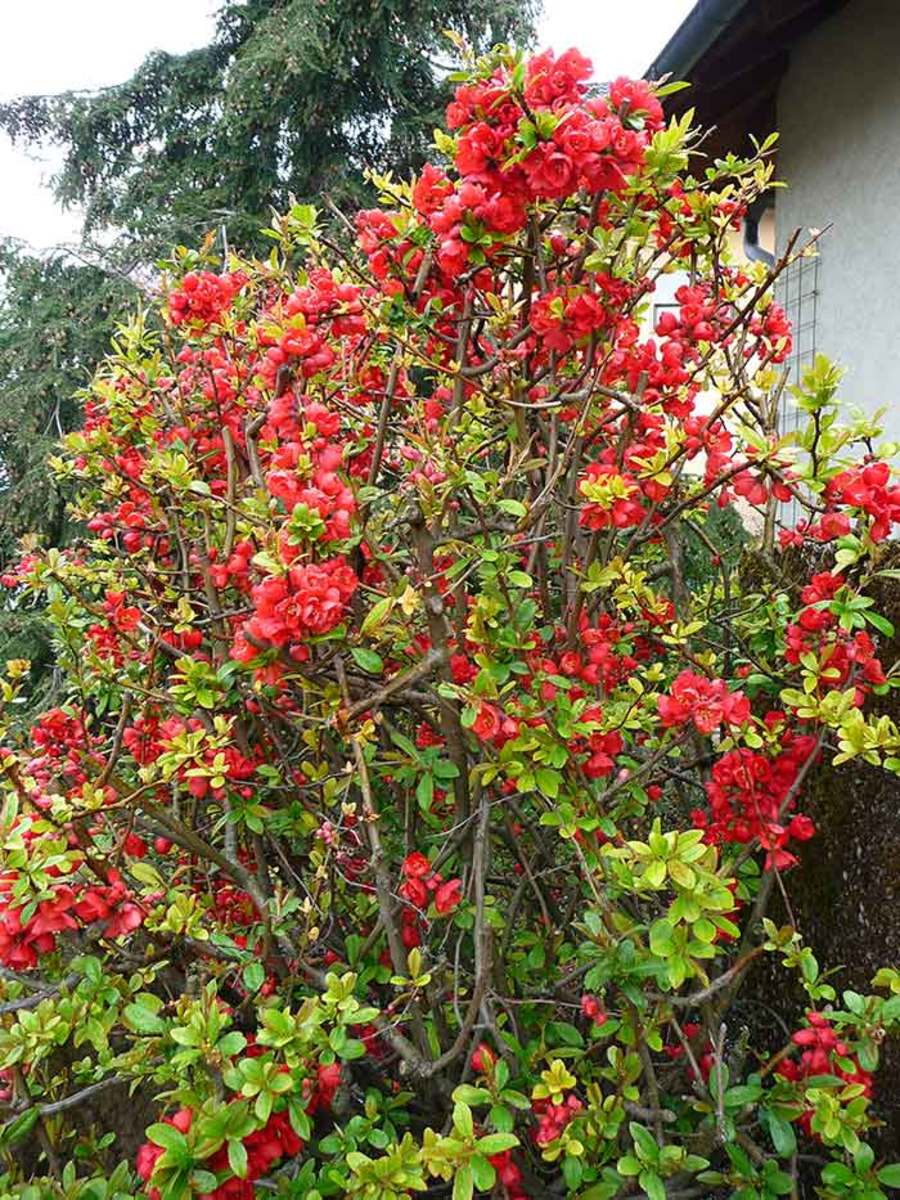 Flowering quince is a deciduous shrub that can become a messy, overgrown thicket after a number of years. It responds well to two easy pruning methods: rejuvenation pruning and renewal pruning.
