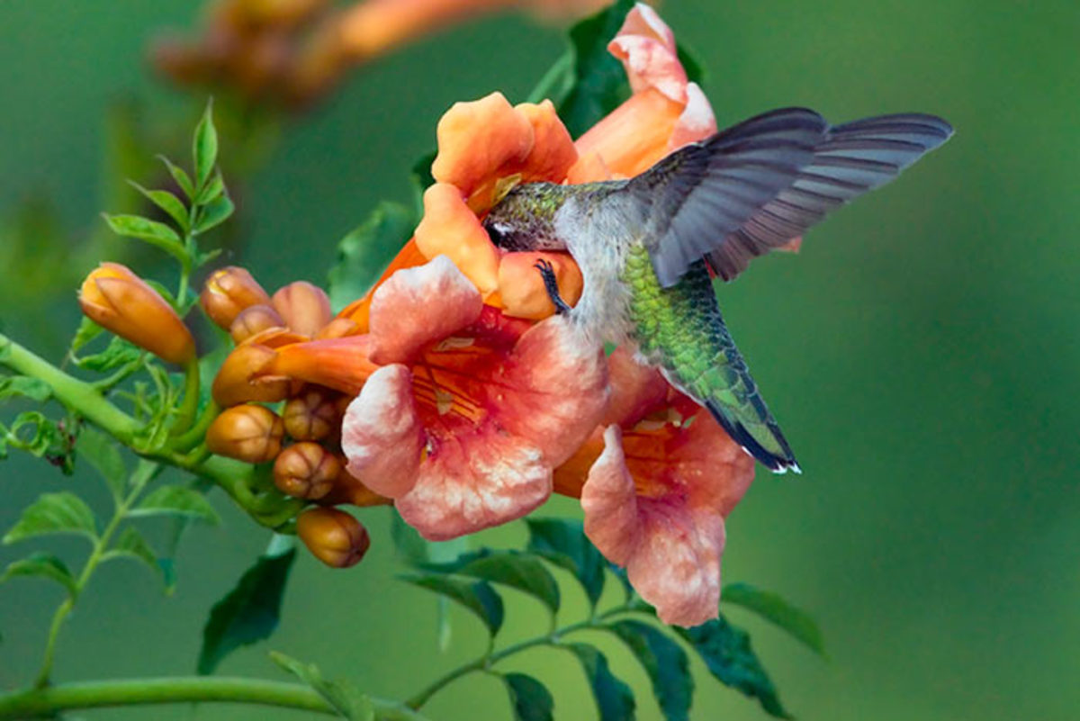 A ruby-throated hummingbirds sips from the midsummer flowers of trumpet creeper, or Campsis radicans.