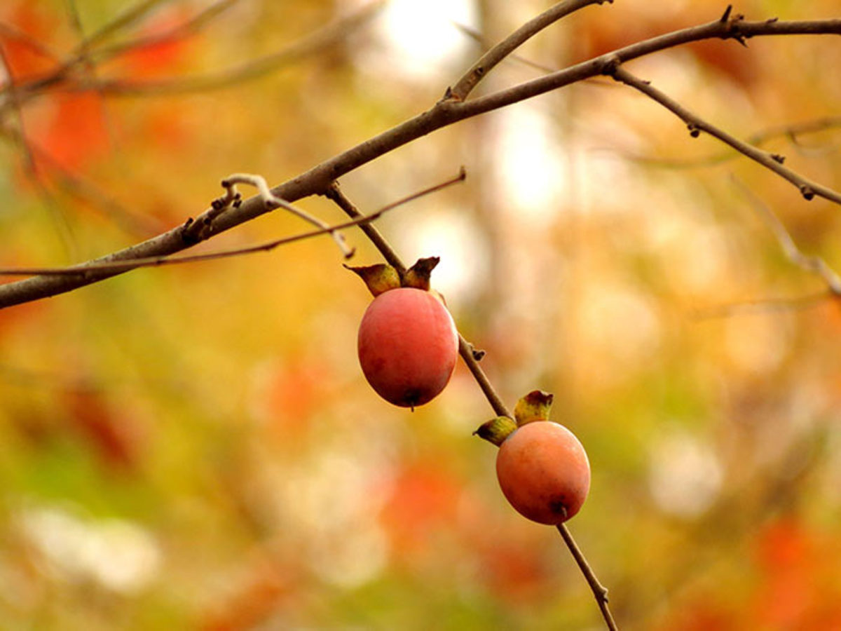 The fruit of the American persimmon tree ripens in the fall.