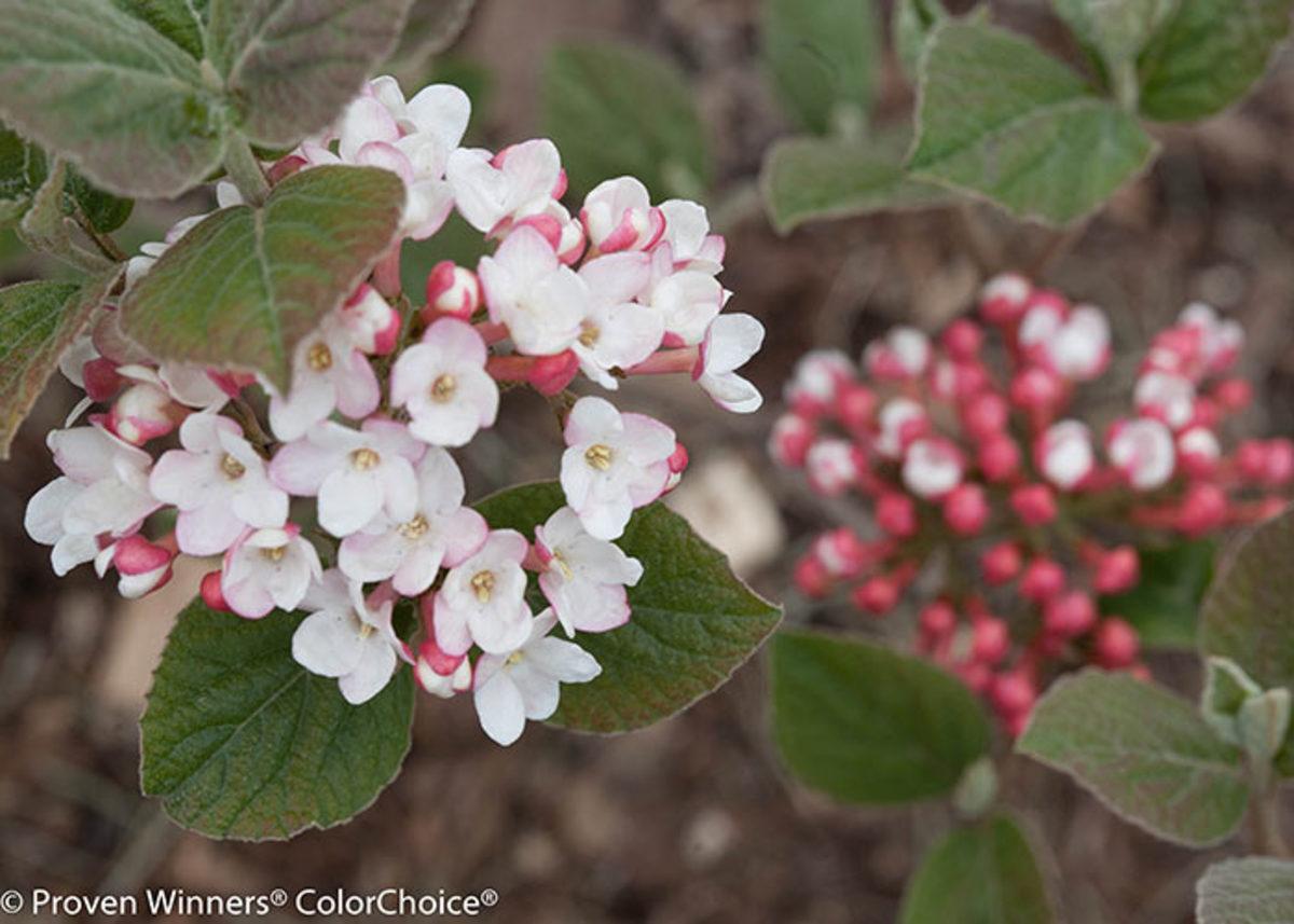 spice_girl_viburnum_flower
