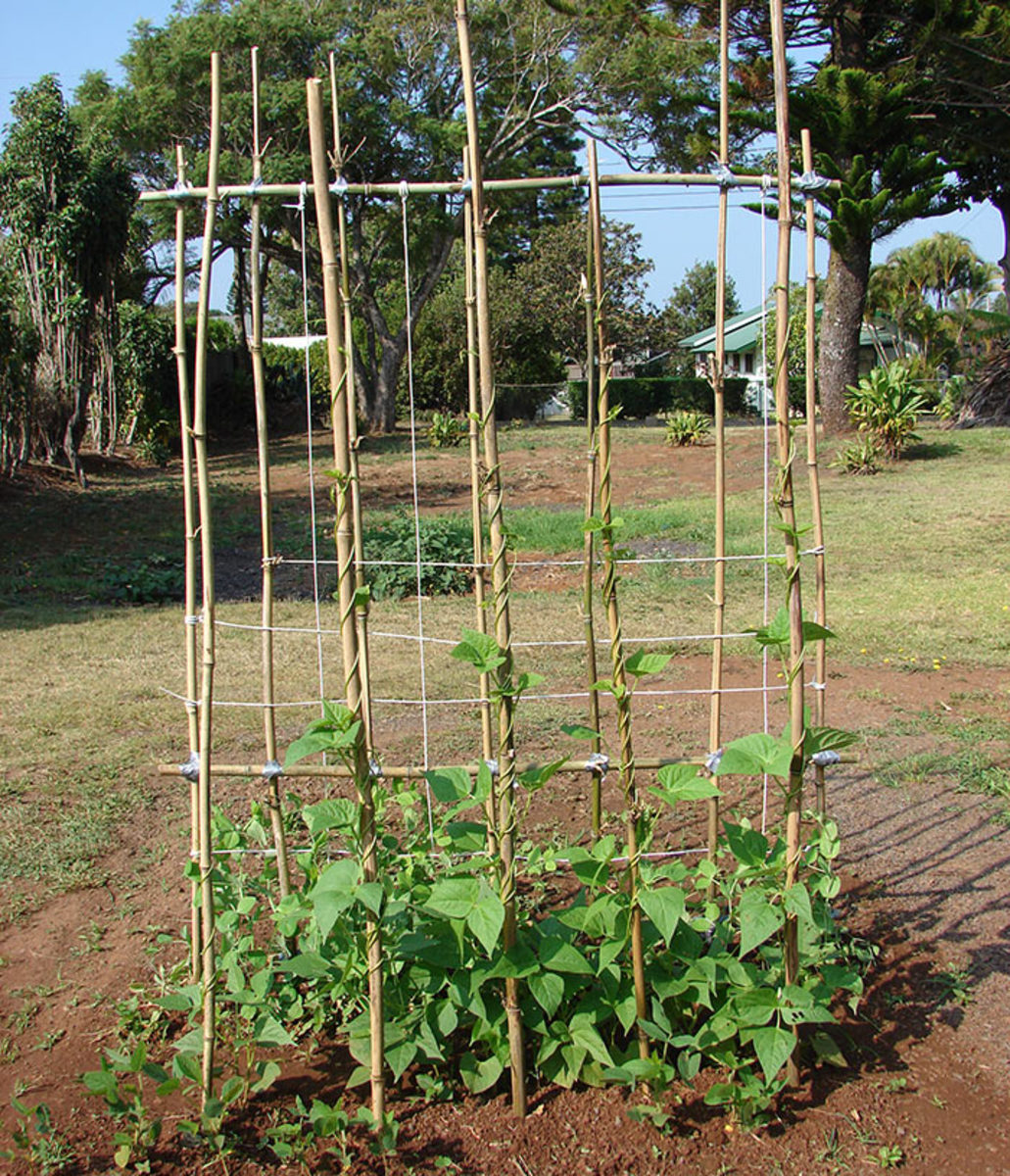 Pole beans can be seeded once the soil warms up.