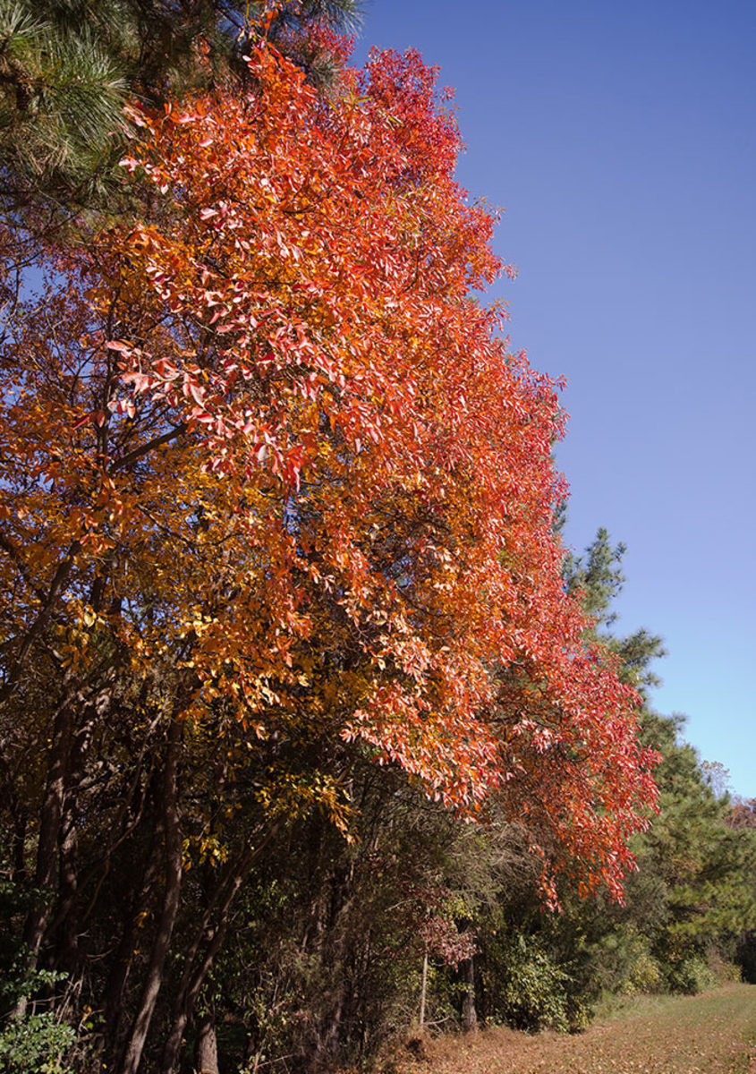 Sassafras is a small to medium tree with brilliant fall foliage.
