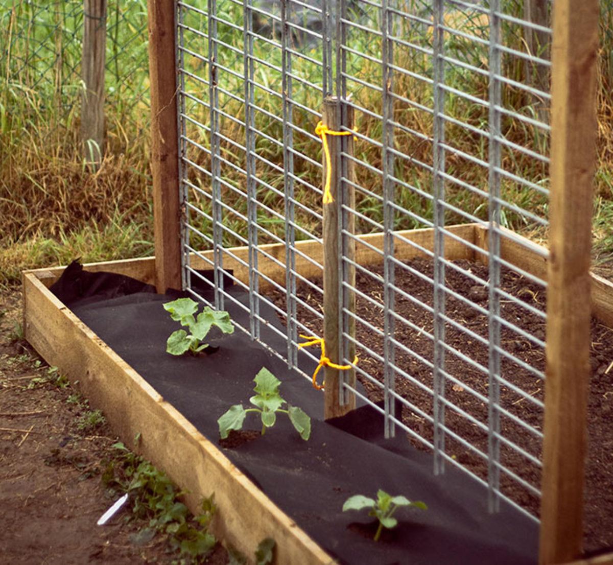 A sturdy trellis stands ready to support these cucumber plants as they develop. It's much easier to install supports while plants are small, than to wait until growth becomes large and unruly.