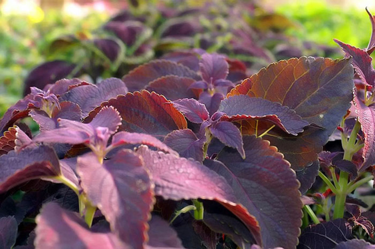 Coleus is one plant commonly used as an annual. It will root easily from cuttings.