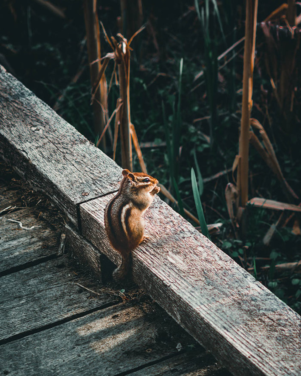 This chipmunk just might be surveying the landscape for pots and planters to dig through.