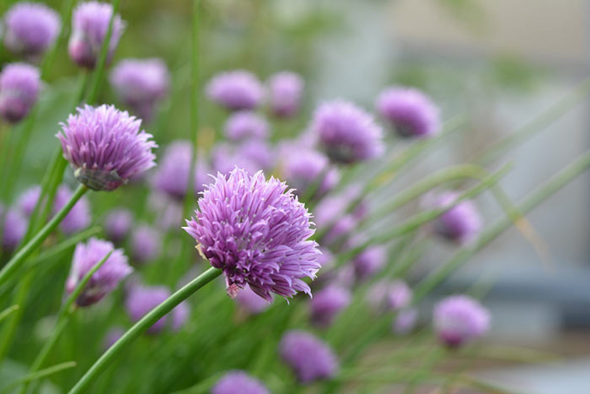 Above: Chives are one example of Allium, a genus that includes many purple-flowering plants that attract bees while performing other roles for the gardener.