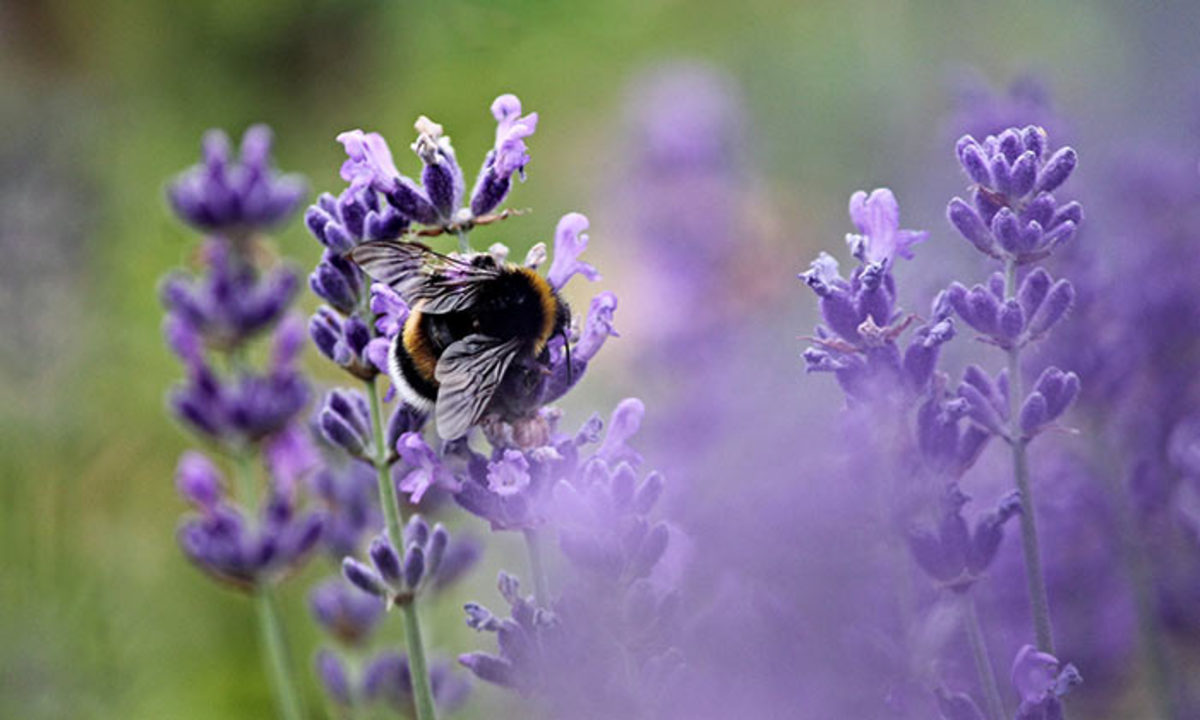 A bee visits lavender in bloom. Ornamental flowers can help draw attention to the smaller blossoms of vegetable plants sited nearby.