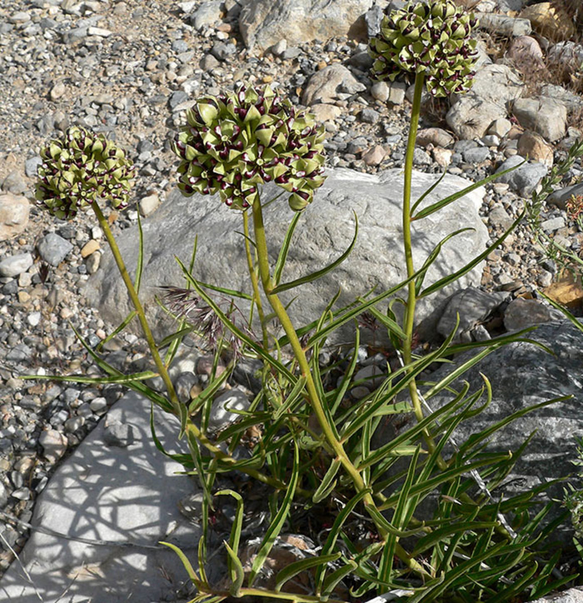 Above: Antelope-horn milkweed