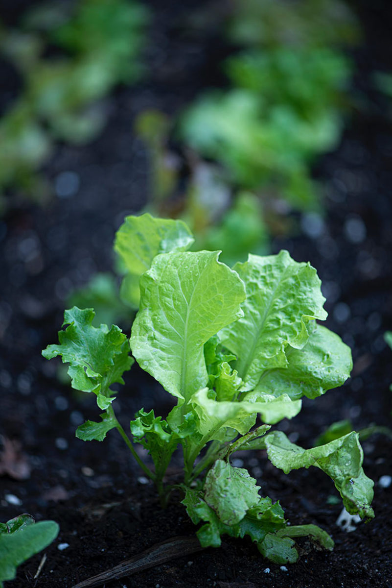 Leaf lettuce thrives in autumn.