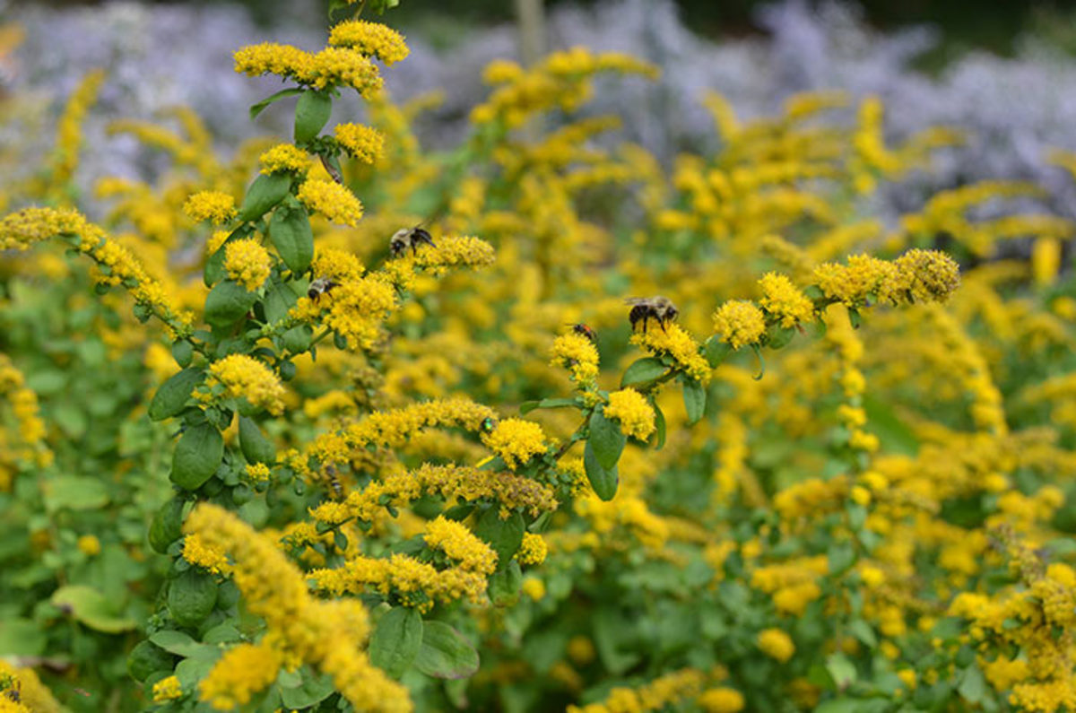 'Golden Fleece' goldenrod's dwarf, clumping habit recommends it even to small or formal garden. Photo courtesy of Mt. Cuba Center.